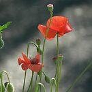 Poppies by tenzil