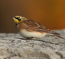Horned Lark by Bill McMullen