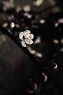 Plum Blossom  by Joshua Greiner
