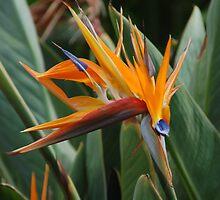 Birds of Paradise 2 by markrt