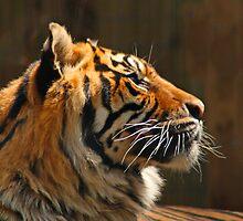 Tiger - in contemplation by Patti Reddoch