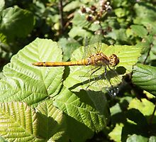 Dragonfly resting on a Bramble  by DEB VINCENT