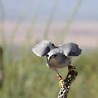 """Encouragement"" Grey Hawk, Raptor by Sherry Pundt"
