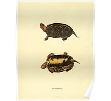 North American Herpetology A Desciption of the Reptiles Inhabiting the United States Chichowski John Edwards Holbrook 1836  0088  Turtle Poster