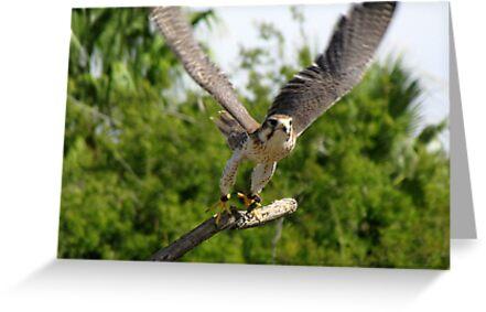 Prairie Falcon ~ Captive by Kimberly Chadwick