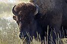 Bison - National Bison Range, Montana by amontanaview