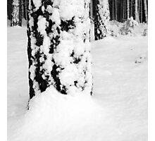 Scots Pine in the Snow, Dunwich Forest, Suffolk Photographic Print