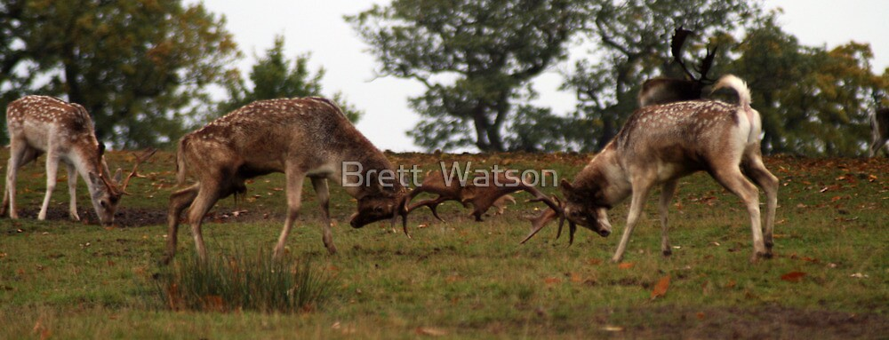 the fighting deer  by Brett Watson Stand By Me  Ethiopia