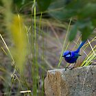 Splendid Fairy Wren in the Sunshine by Sandra Chung