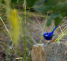 Splendid Fairy Wren in the Sunshine by Sandra Chung