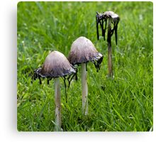 Shaggy Inkcaps Canvas Print