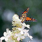 Monarch on a Hydrangea, Bonnechere River, Ontario by Debbie Pinard