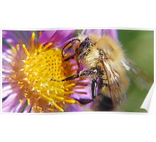 Bumble Bee 1 - Macro Poster