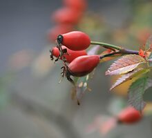 Rosehips in Autumn by Matthew Slowe