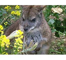 Bennetts Wallaby, Marwell Wildlife Photographic Print