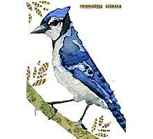 Cyanocitta  Cristata #2 (Blue Jay #2) Photographic Print