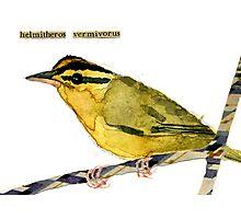 Helmitheros vermivorus (Worm-Eating Warbler) Photographic Print