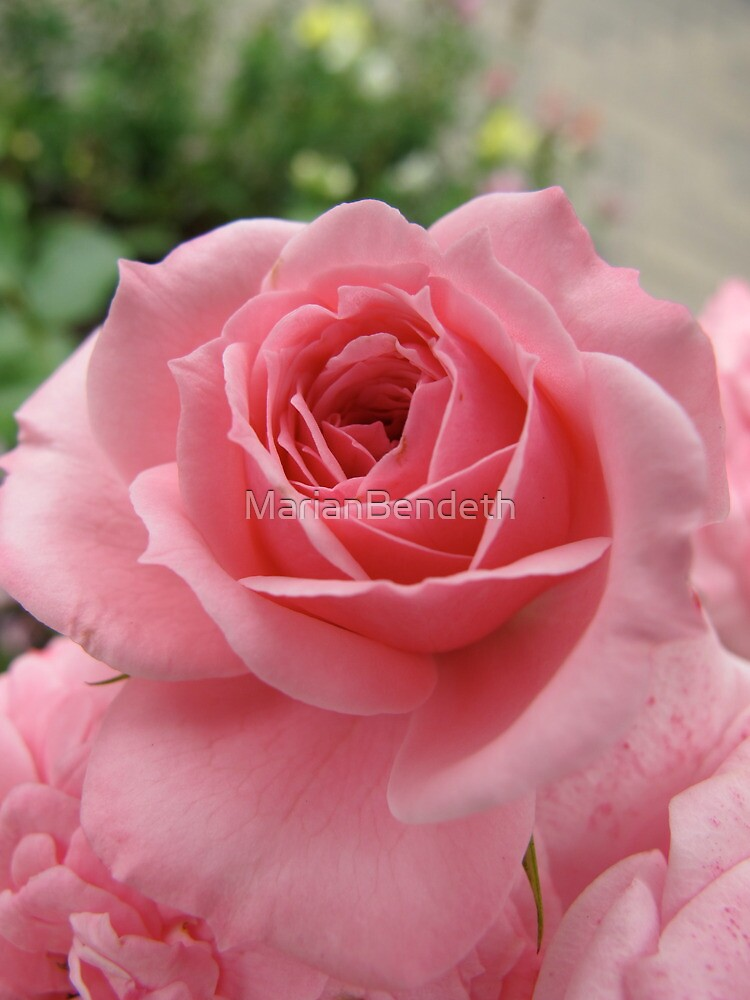Rose Avalanche by MarianBendeth