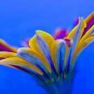 Gazania Hybred flower  by DIANE  FIFIELD
