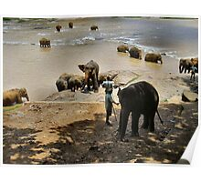 SRI LANKAN ELEPHANTS.2 Poster