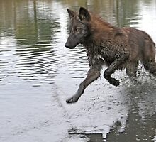 Making a splash, wolf style by Anthony Brewer