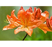 Sort of Lily Photographic Print