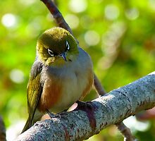 Lost in Deep Thought! - Silvereye - NZ by AndreaEL