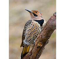 Northern Flicker Photographic Print