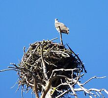 Nesting Osprey by BettyEDuncan