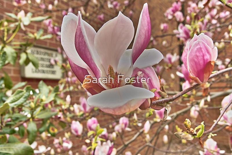 Magnolia Days by sagemountain