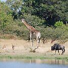 Giraffe, Wildbeest & Impala - Moremi Game Reserve, Botswana, Africa by Adrian Paul