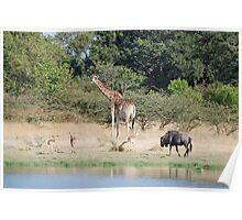Giraffe, Wildbeest & Impala - Moremi Game Reserve, Botswana, Africa Poster