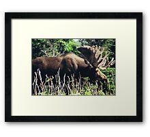 Moose on Cabot Trail in Nova Scotia Framed Print