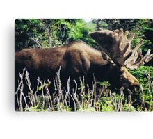 Moose on Cabot Trail in Nova Scotia Canvas Print