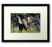 Moose on Cabot Trail 2 Framed Print