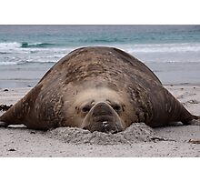 Flop! Bull Elephant Seal - Sea Lion Island West Falkland Photographic Print