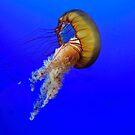 Sea Nettle by Shawnna Taylor