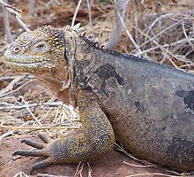 Iguana - Galapagos, Equador by Nina Brandin