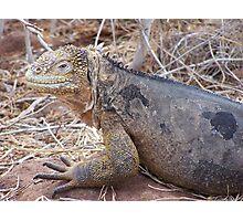 Iguana - Galapagos, Equador Photographic Print