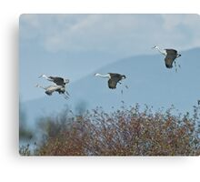 Sandhill Cranes Coming In Canvas Print