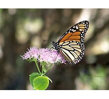 Monarch Stopping By  Photographic Print