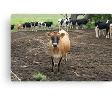 Country Cows near Bodalla, NSW Canvas Print