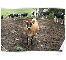 Country Cows near Bodalla, NSW Poster
