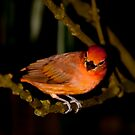 Red Birdie! by vasu