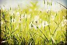 Dandelions Everywhere... by Carol Knudsen