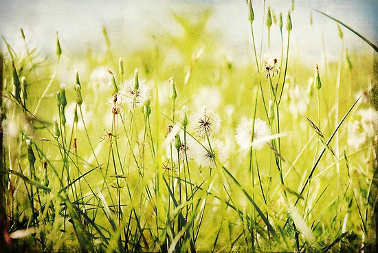 Dandelions Everywhere... by Carol Knudsen