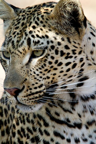 Maxabene 3:3 Young Male Leopard by Michael  Moss