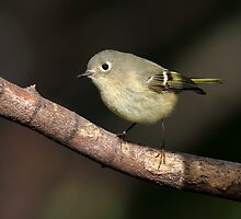 Avian Perpetual Motion / Ruby Crowned Kinglet  by Gary Fairhead