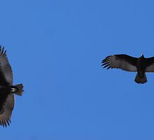 Two Vultures in Flight! by barnsis