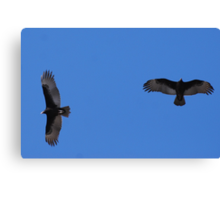 Two Vultures in Flight! Canvas Print